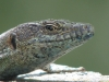 Madera lizard